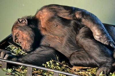 The Alpha Male Chimpanzee