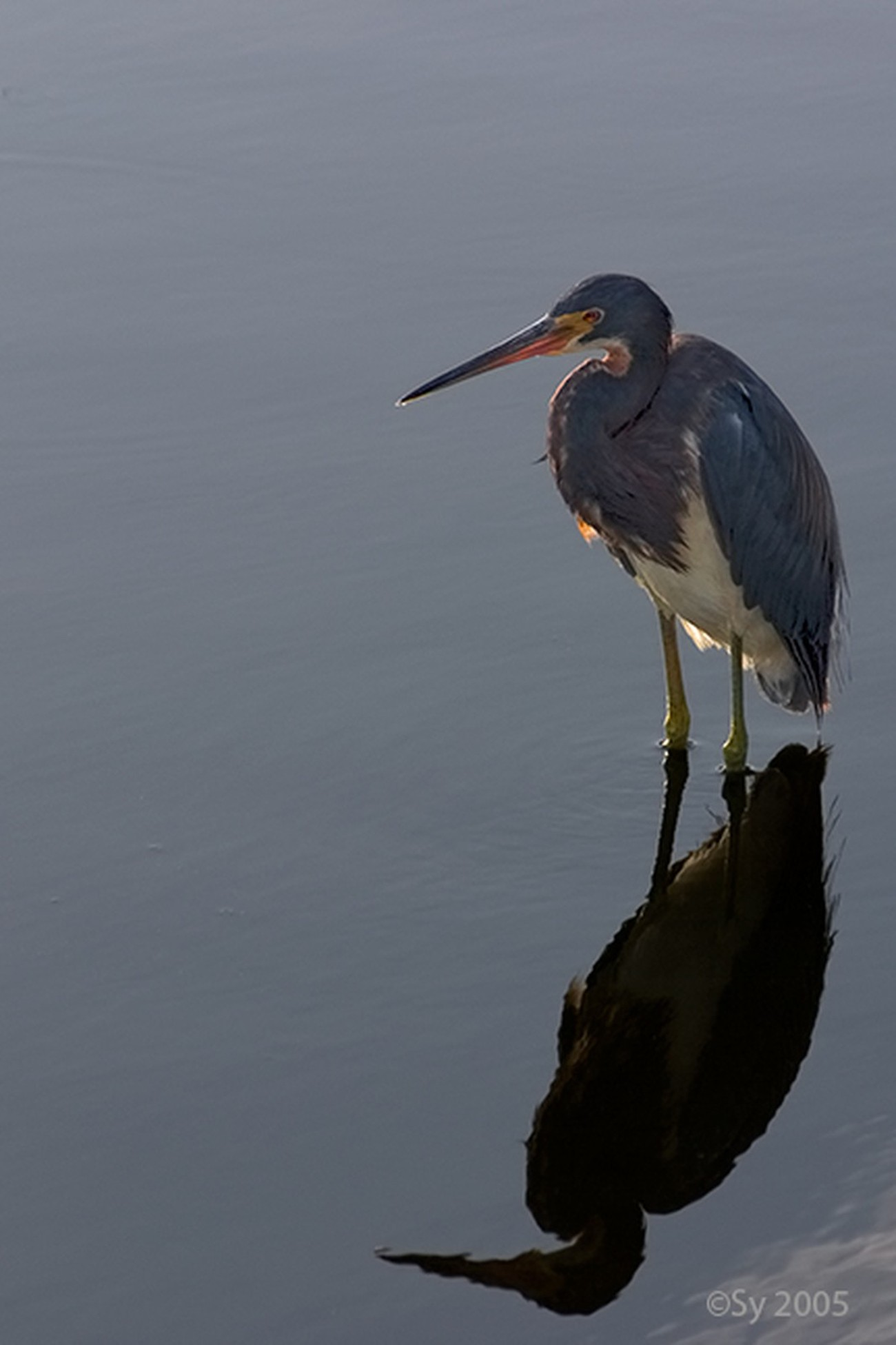 Louisiana heron and its reflexion in the water of a Florida lake.