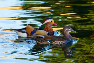 Mandarin Duck Pair on the Lam