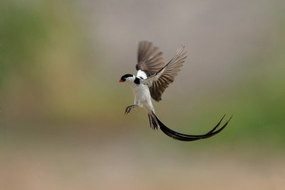 Pin Tailed Whydah in flight