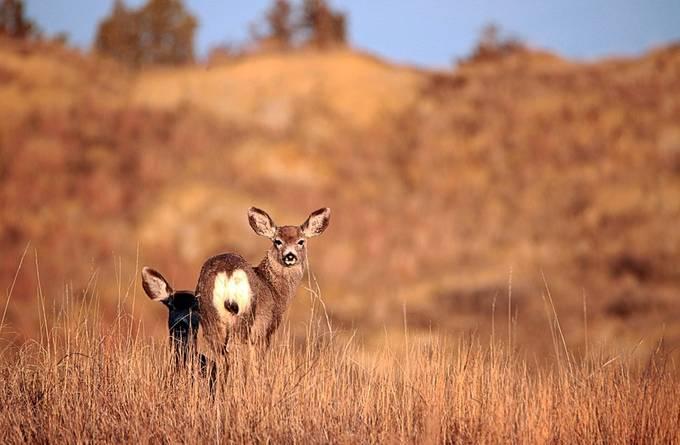Deer grazing in the ND Badlands