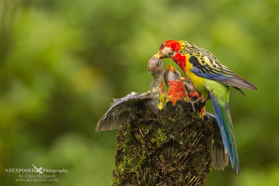 The parent returns to the nest to feed the young Eastern rosella waiting.