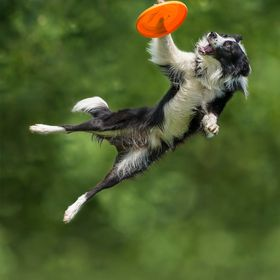 A Border Collie that know how to use his paw to catch the disc in a Disc Dog competition