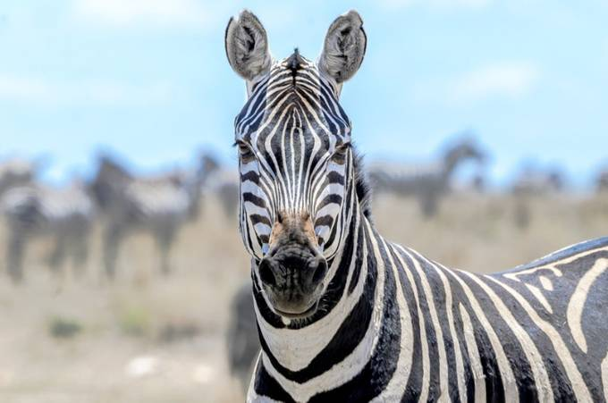 Zebra ....You Lookin' At Me? by Pamelabole - Show Minimalism Photo Contest