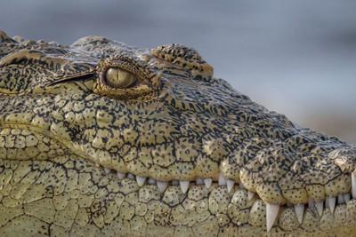 Crocodile Lake Victoria Tanzania