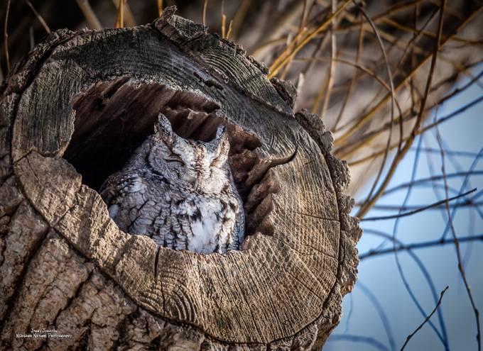 Eastern Screech Owl by jamesjohnston_3471 - Beautiful Owls Photo Contest