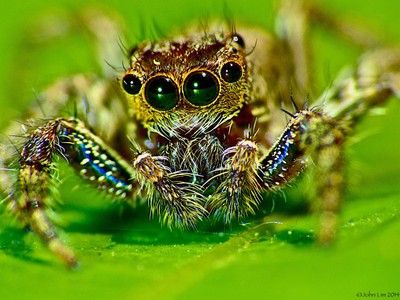Jumping spider,(Salticidae).