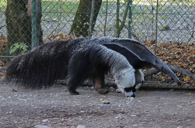 Anteater on the prowl