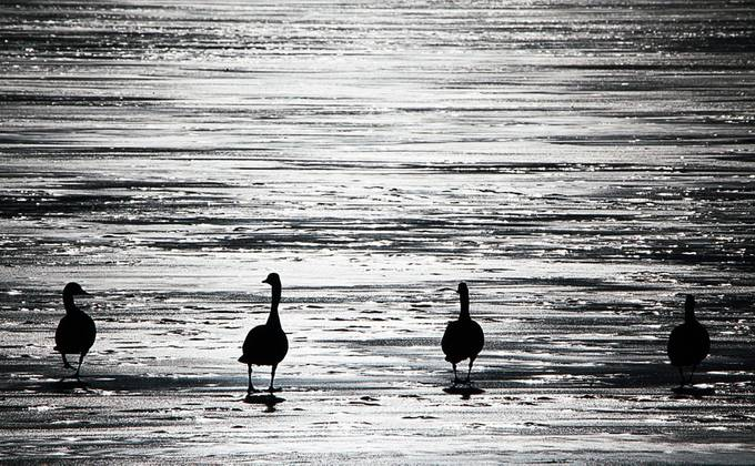 Geese Sillouette