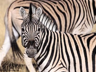Zebra - Face to Face