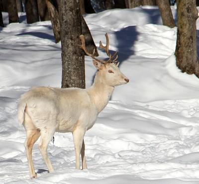 Albino White Tail Deer