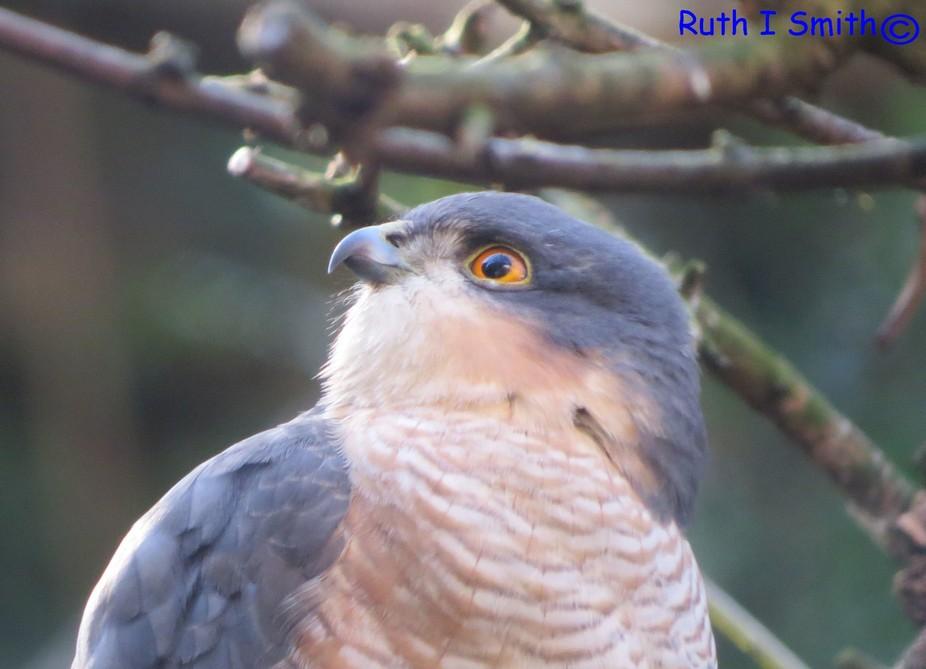 Sparrowhawk alert