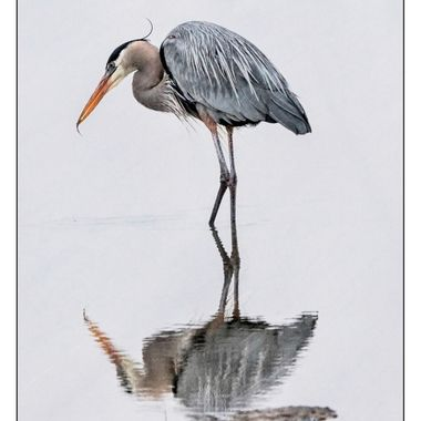 Great Blue - fishing  on a still day -- his reflection -- and his small catch