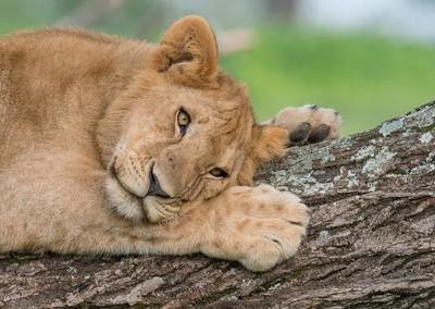 Wild Lioness in tree