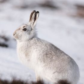 This shot of a mountain hare was captured in the Scottish highlands at approx. 450M, although he remained alert, he allowed me to approach to wit...