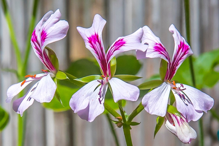 We have these growing in our courtyard. Very beautiful Flower.