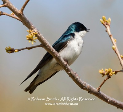 Male Tree Swallow - on budding spring branch -Tachycineta bicolor -Photo by Robson Smith