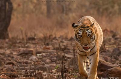 The Beautiful - Choti Thara (Tigress Name)