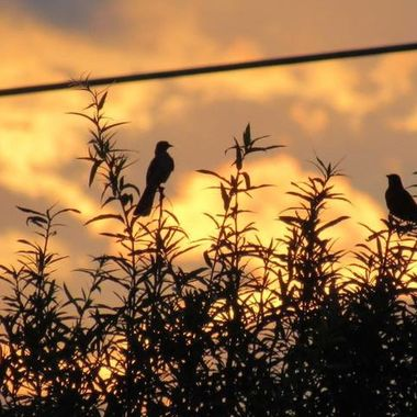 Birds in the tree tops at sunset