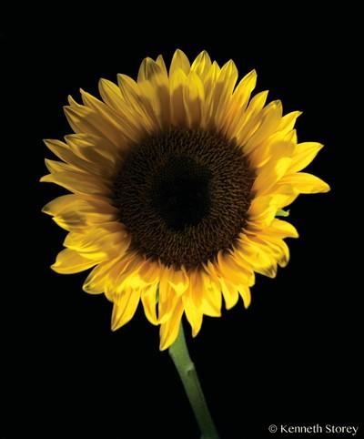 Sunflower1_4