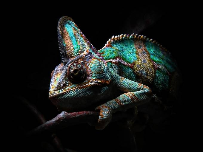 Chameleon by dawnvandoorn - Reptiles And Amphibians Photo Contest