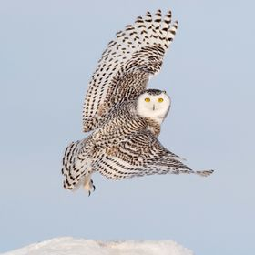 A wonderful experience photographing Snowy Owls in Canada..Gorgeous birds!