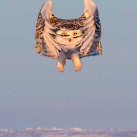 Beautiful opportunity to photograph snowy owls in Canada. The takeoff pattern for them is exquisite when they bring their wings together and peek...