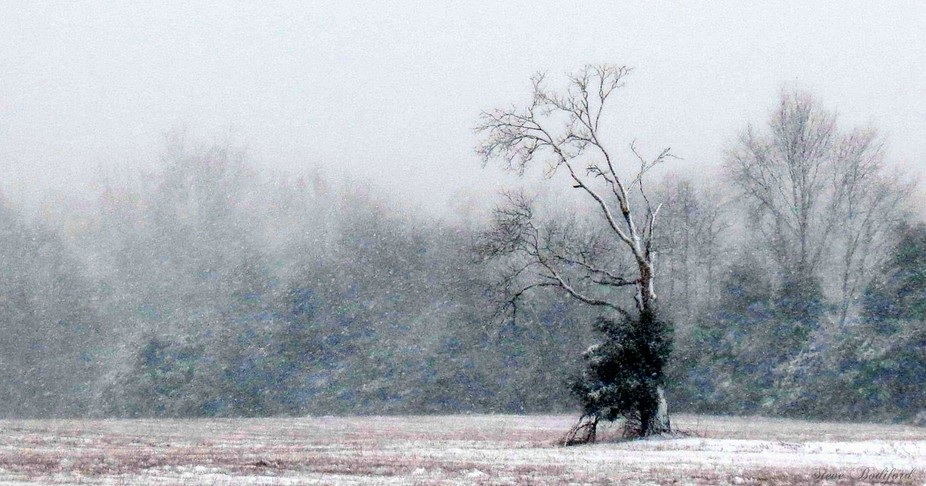 As if a maestro in the middle of a snow storm,  it is the last bastion of forest over field.
