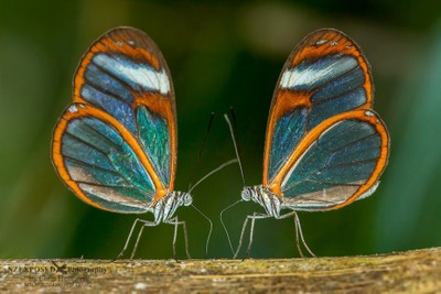 Two clear wing butterflys