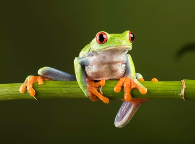 Red Eye tree frog,magnificent little creature