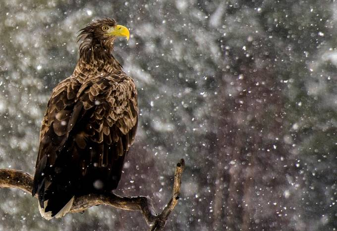 White tailed eagle  by AlexanderArntsen - Just Eagles Photo Contest