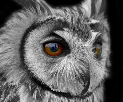 Owl Head study