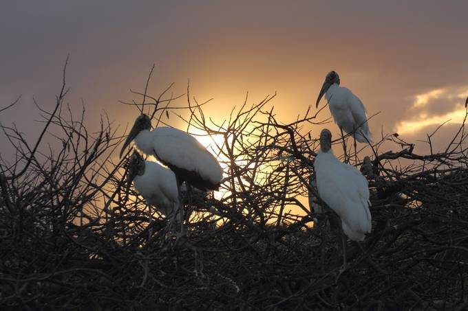 Wood cranes on nests with a sunrise behind them