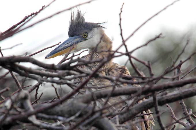 Juvenile Great Blue Heron in nest