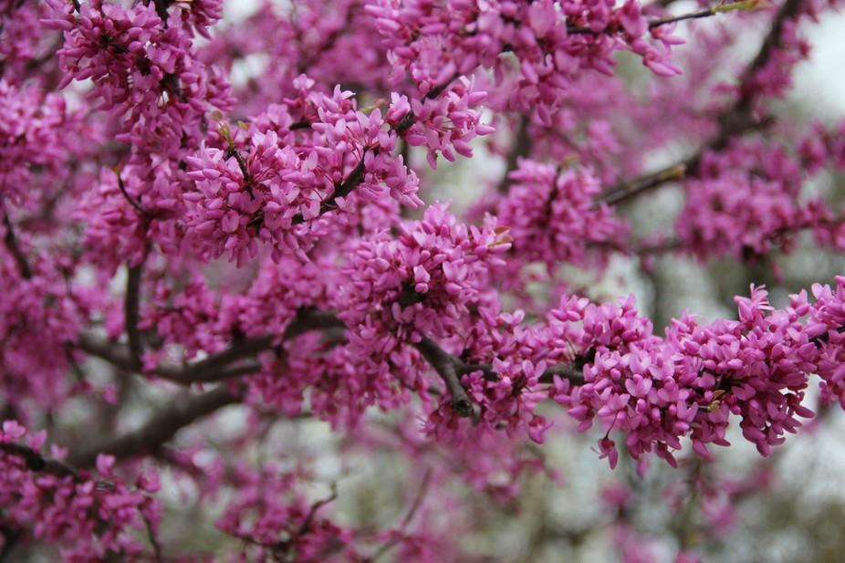 Texas Rosebuds in Spring