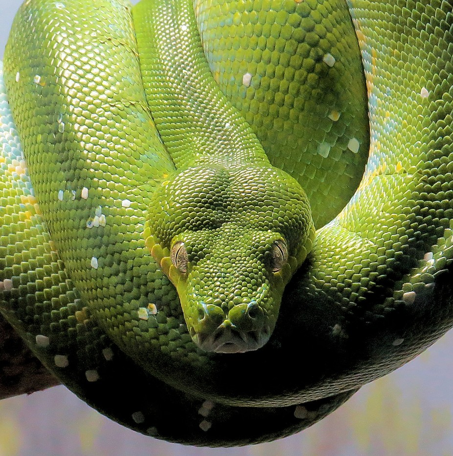Here's Looking At  You by Normanthegr8 - Snakes Photo Contest
