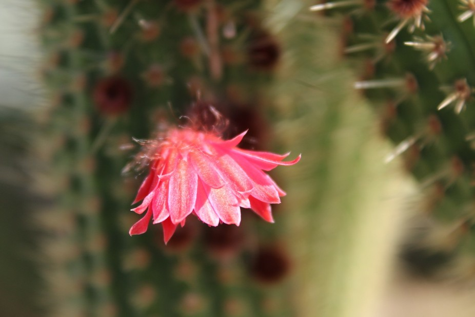 Delicate flower from a cactus plant taken close to Brits, South Africa