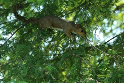 squirrel in Cypress tree - IMG_0239