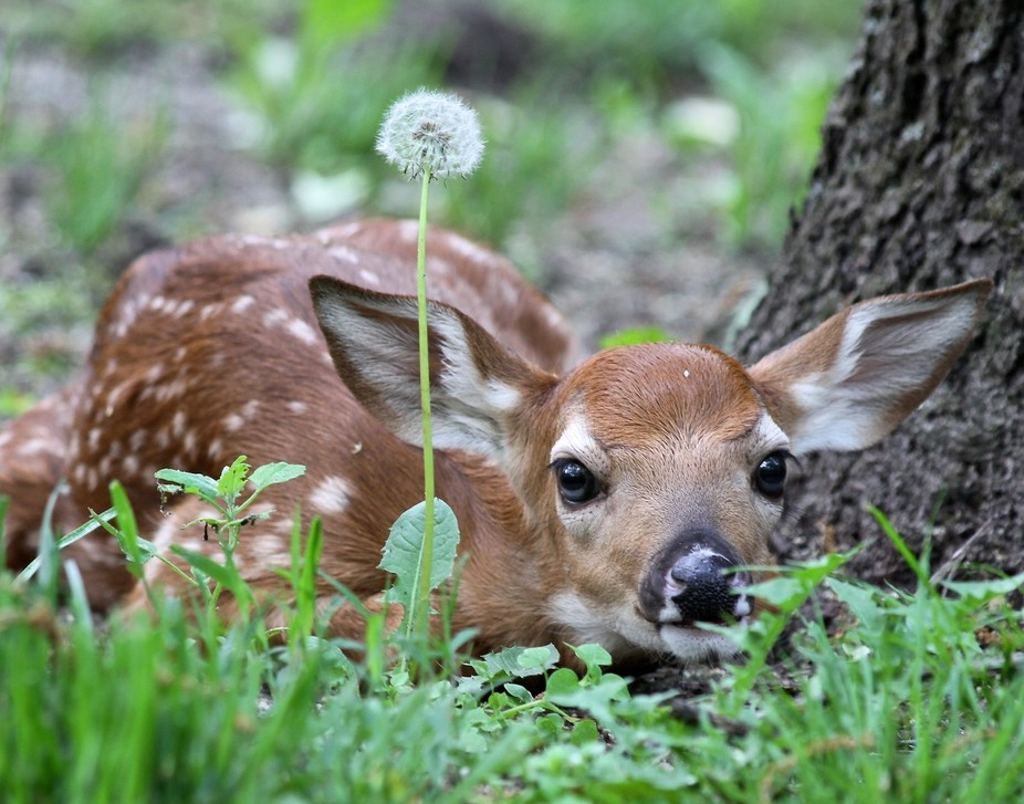 I was thrilled to find this baby fawn snuggled up close to one of our trees along a pathway in ou...