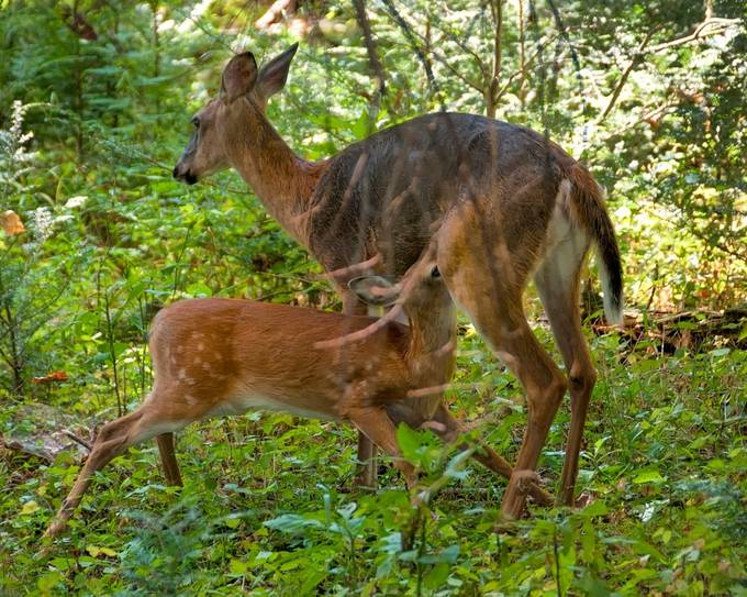 With a Nikon D300 in the Great Smokey Mountains National Park.  Although wild and free, the doe was not very afraid.