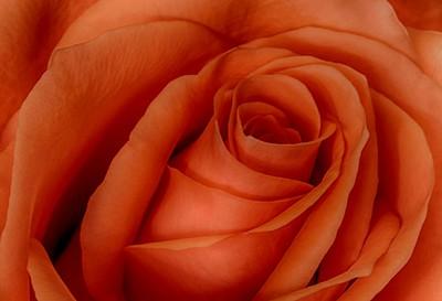 A Valentine Rose