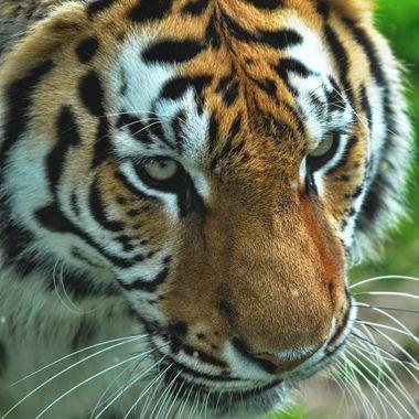 Asha Tiger
