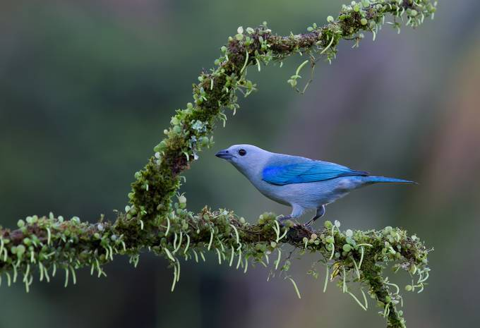 Blue-gray tanager by JimCumming - A World Of Blue Photo Contest