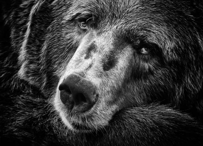 Watching You by inge_vautrin - Bears Photo Contest