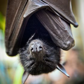 A rather large bat takes an afternoon nap at a coffee plantation on Bali, Indonesia.