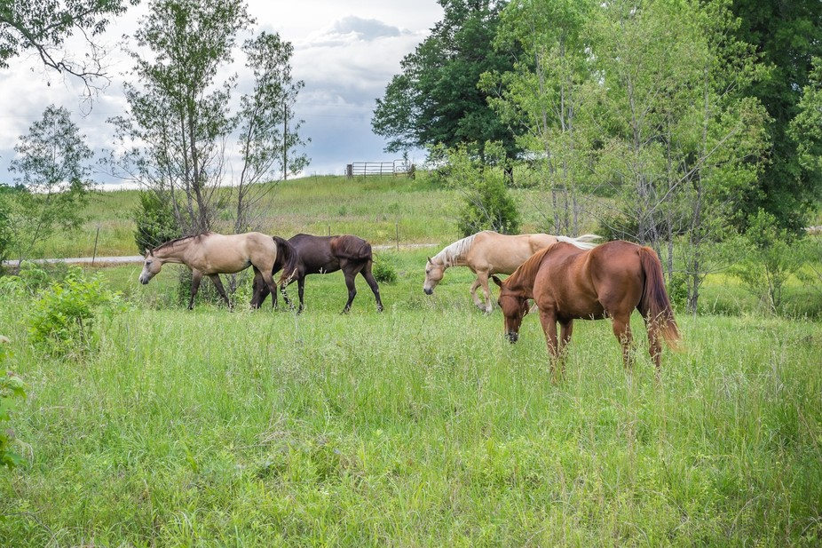 Horses grazing in a pasture.