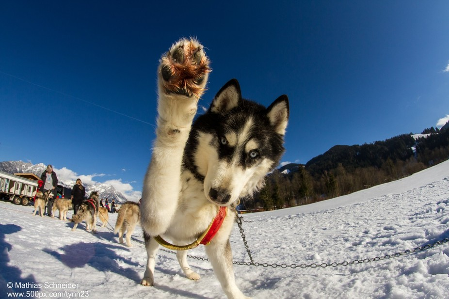 This Husky was waiting for his turn to run in front of the sledge. As I came near with my camera,...
