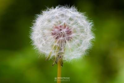 Dandelion 'SeeThru'