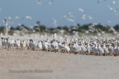 A Tern Herd