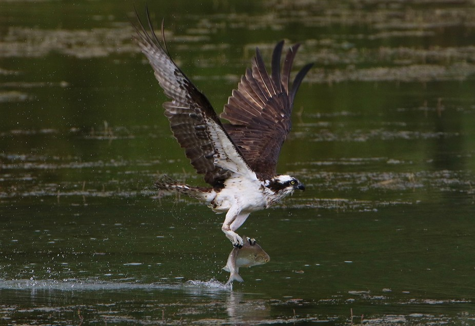 In honor of springtime in the mid-Atlantic, I am posting this picture of the Osprey - my official...